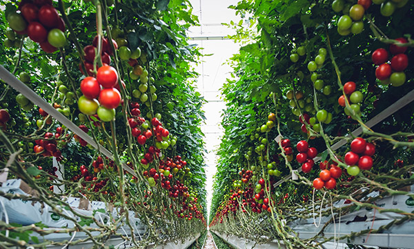 us hydroponic tomatoes - Our Gardens